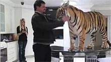 土豪就是任性!养只老虎做宠物,还睡一张床!