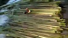 春笋之外的意外收获野生灵芝