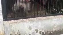 在动物园里忽然不给狒狒东西,狒狒居然还会抓狂,笑死了