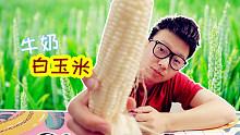 """试吃台湾""""牛奶白水果玉米"""",挤出来的汁液真的跟牛奶一样!"""