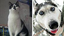 Big笑工坊-当二哈遇上奶牛猫后,就知道谁是动物界最二的坑货了!