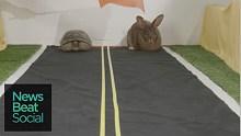 现实版龟兔赛跑,童话到底是不是骗人的?