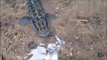 渔乐生活家钓鱼:清澈的水渠里,发现一条健壮的大黑鱼!