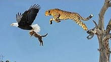 亲娃被叼走,母猎豹成功复仇老鹰