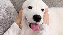 给狗狗按摩到入睡